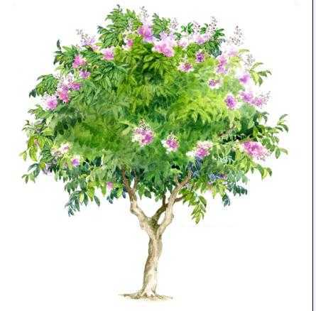 手绘树木立面图