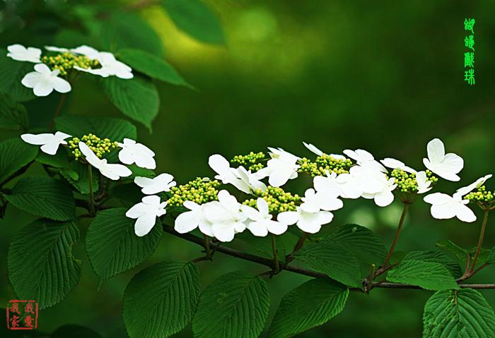 蝴蝶戏珠花